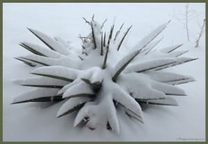 Yucca in Snow -b
