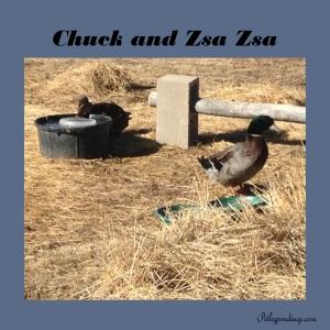 Chuck & Zsa Zsa